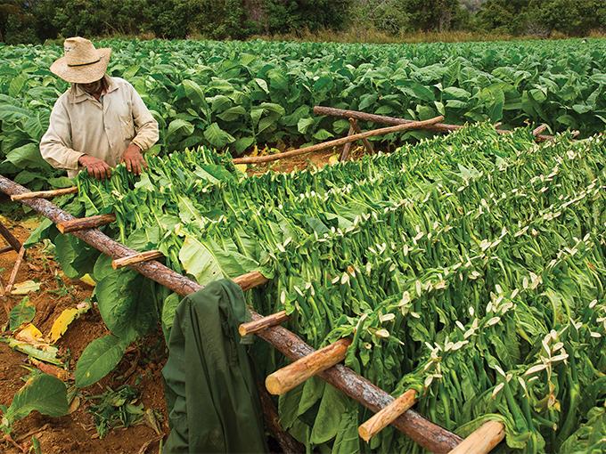 Image Amerique Latine Caraibes Cuba Recolte de tabac