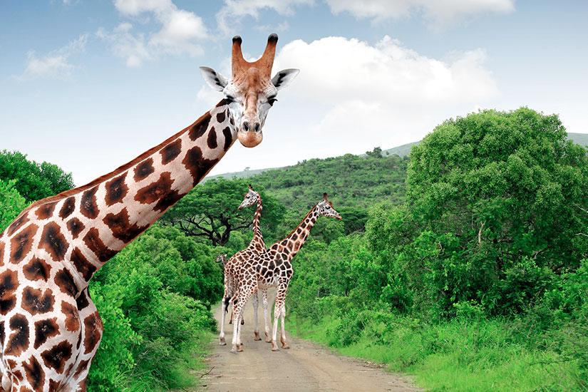 image Afrique Sud Parc Kruger Girafes  it