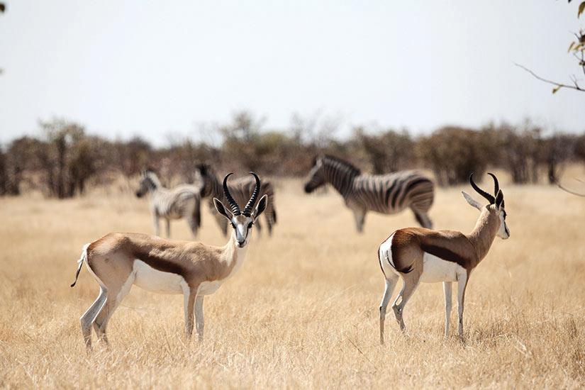image Afrique du Sud Gazelle buck vaulting  fo