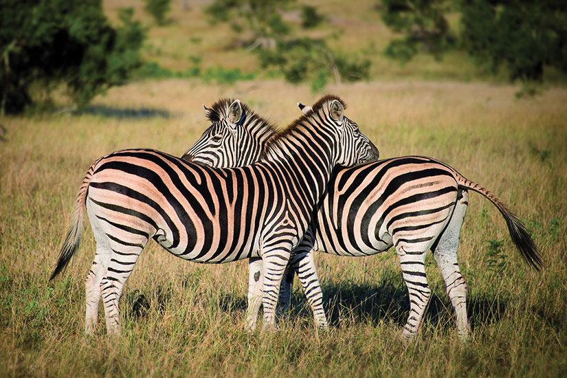 image Afrique du sud Deux zebres  fo