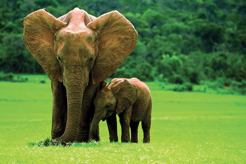 image Afrique du sud Elephant mere avec jeune  fo
