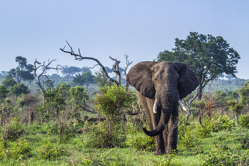 image Afrique du sud Parc national Kruger elephant  fo