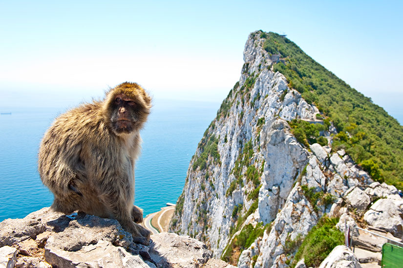 image Angleterre Gibraltar Barbary Grand singe  it