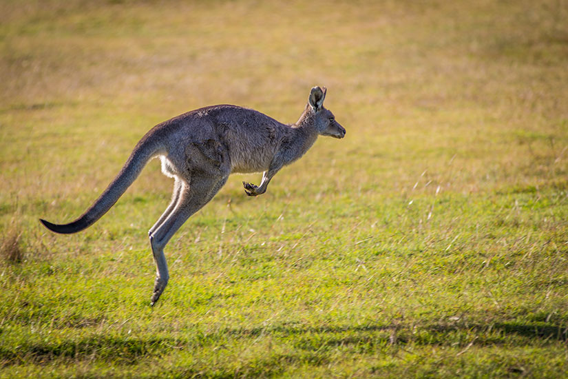 image Australie kangourou  it