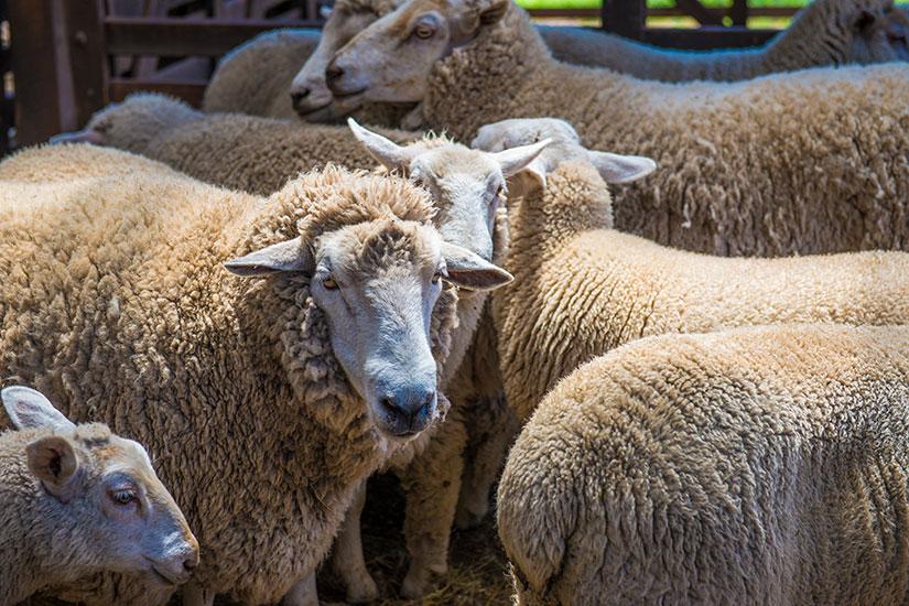 image Australie moutons  fo