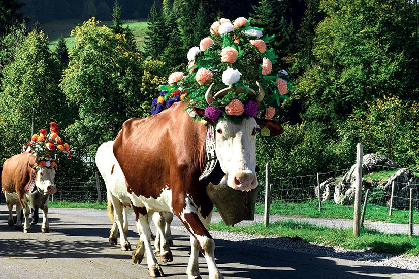 image Autriche transhumance vache fo