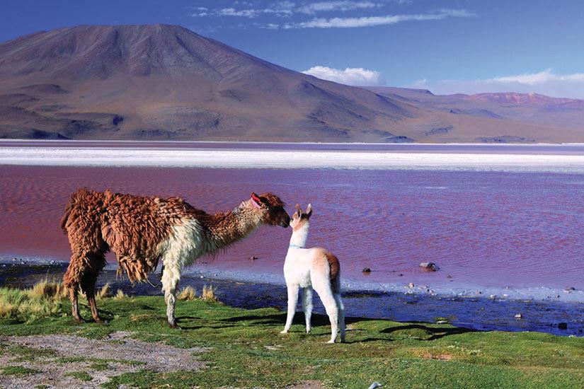 image Bolivie Alpaga Lac Laguna Colorada Lama  it