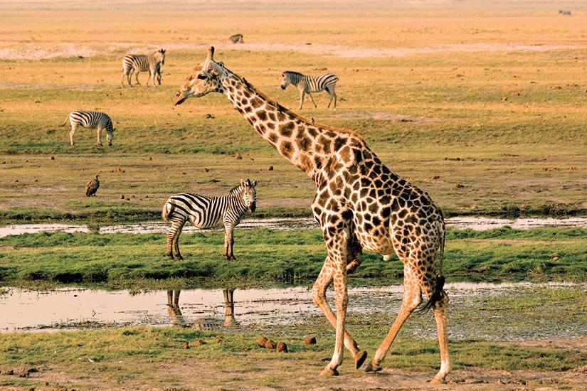image Botswana Chobe girafes  fo