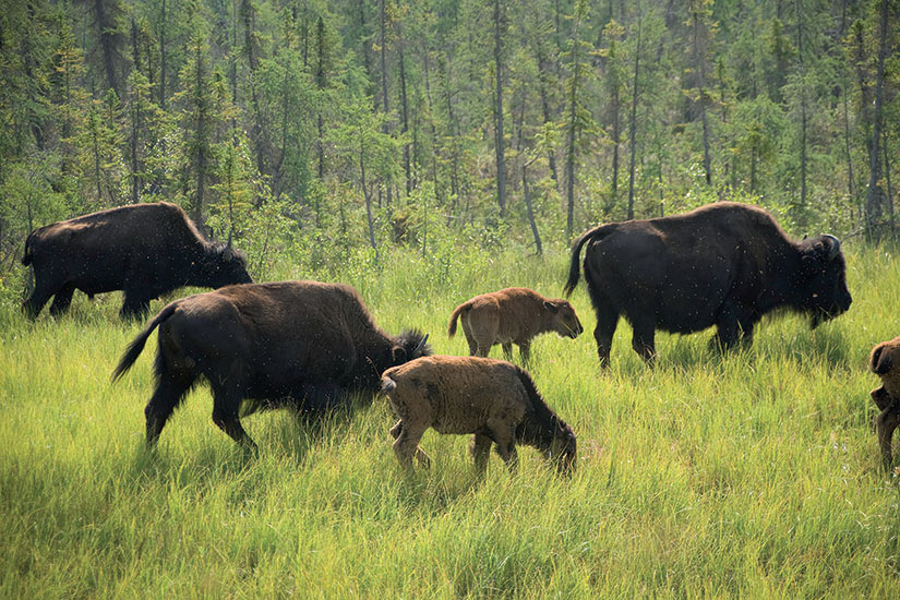 image Canada Bisons  it