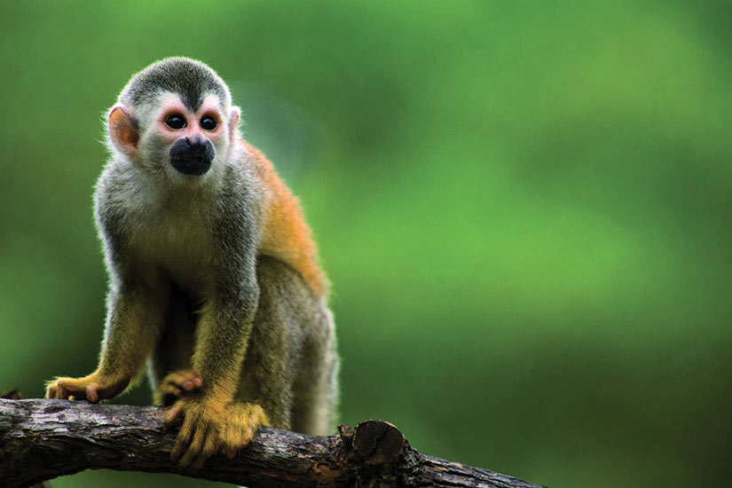 image Costa Rica Ecureuil singe  fo
