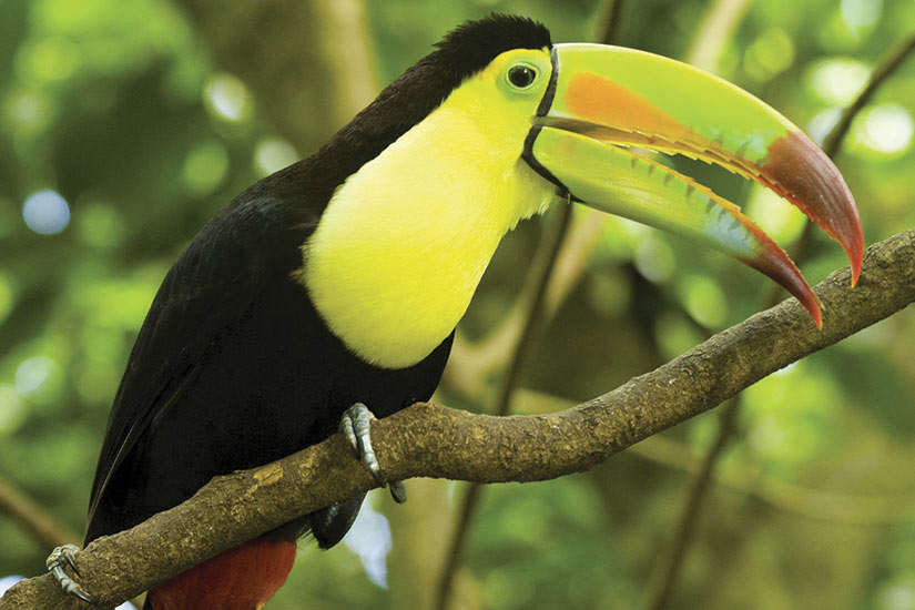 image Costa Rica Toucan  it