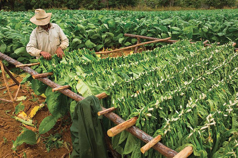 image Cuba Recolte tabac  fo