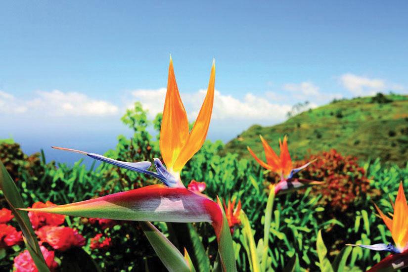 image Espagne Madere Oiseau de paradis Plante  it