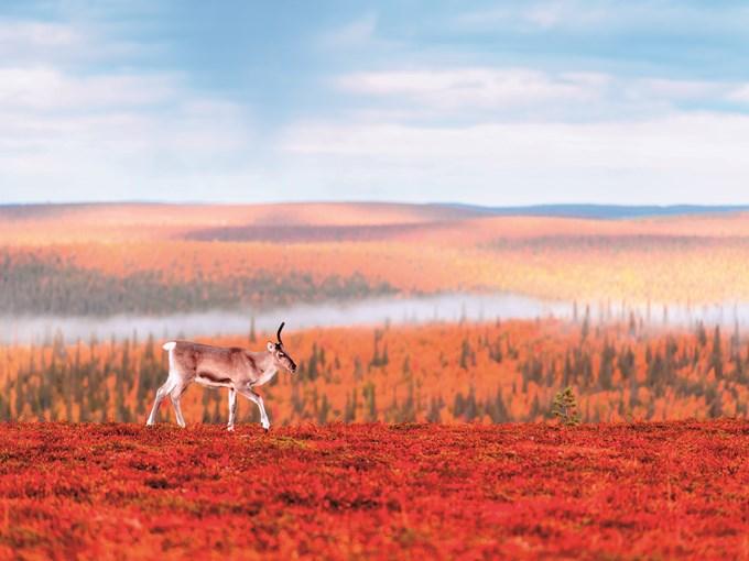image Finlande Saariselka renne