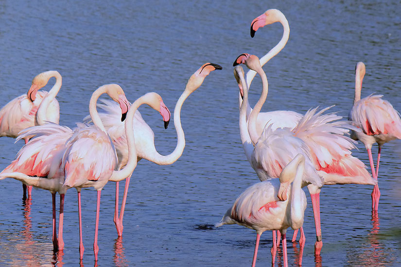 image France Groupe de flamants roses  fo