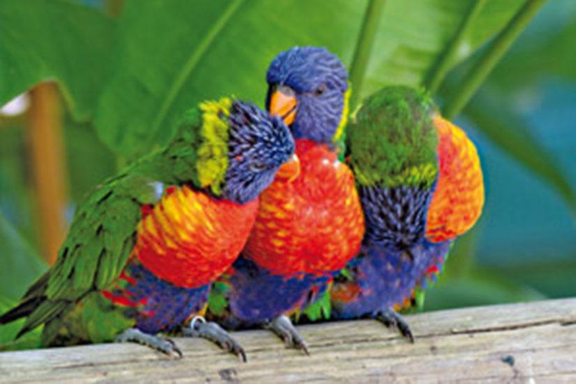 image France Guadeloupe perroquets multicolores  fo