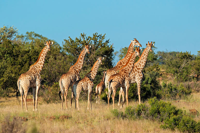 image Girafe  it