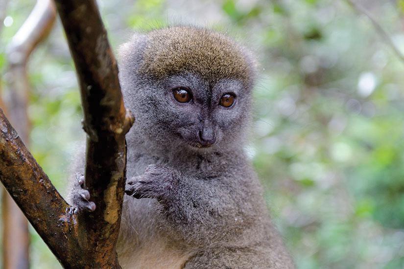 image Madagascar Andasibe Parc Hapalemur  fo