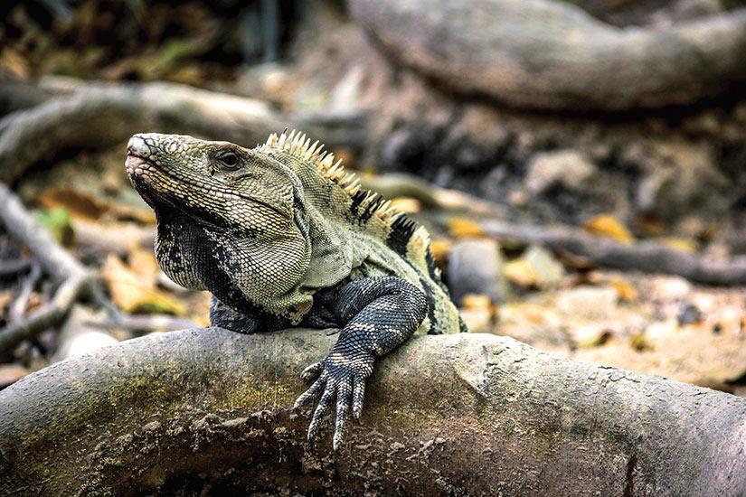image Mexique Tulum Iguane sur la branche  fo