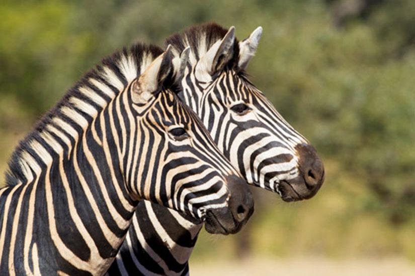 image NT Aafrique du sud parc kruger zebre  fo not found