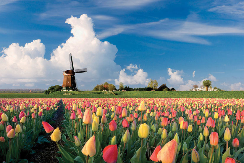 image Pays Bas Tulipes Moulin  it