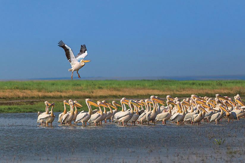 image Roumanie Delta Danube pelican  fo