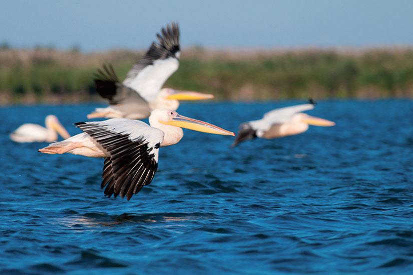 image Roumanie Delta du Danube pelican vol  it