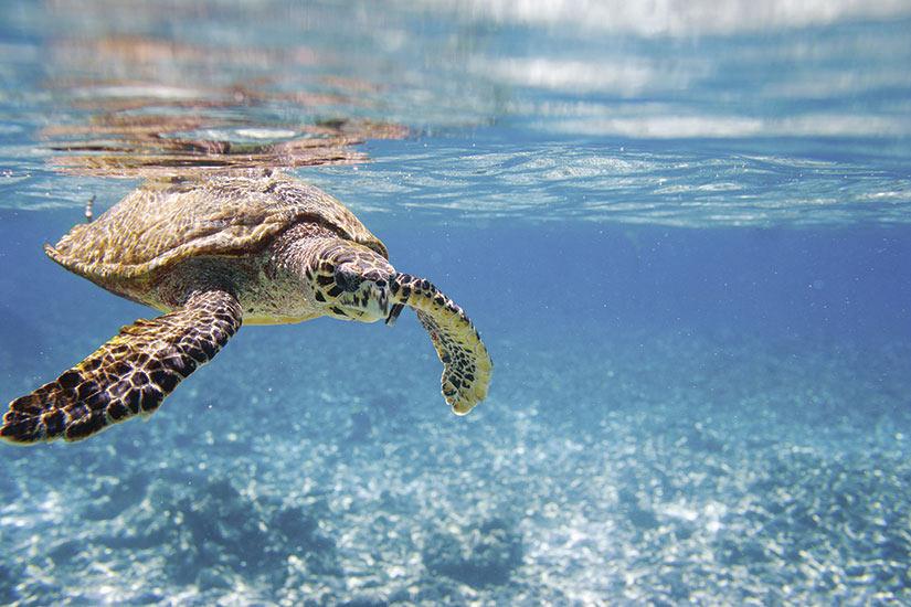 image Seychelles tortue Hawksbill  it