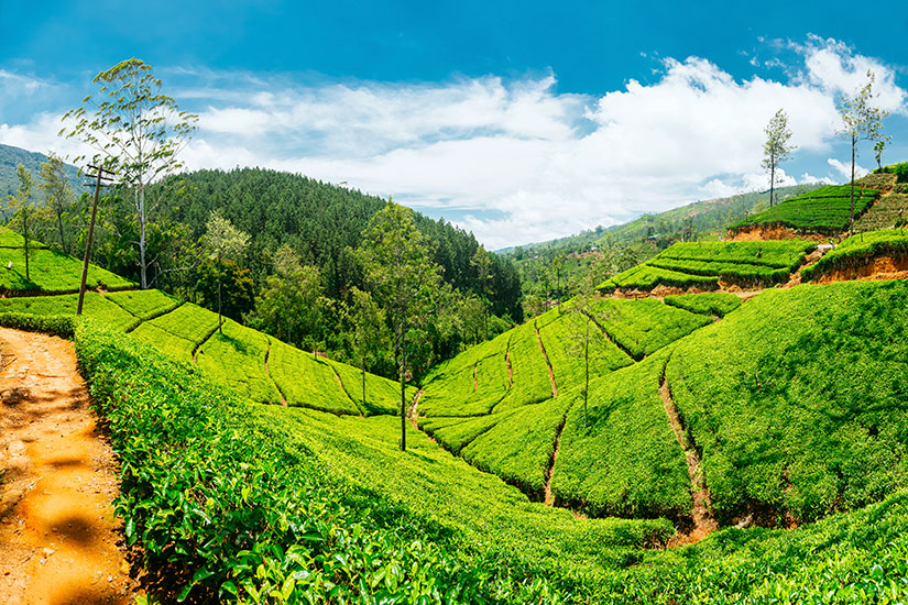 image Sri Lanka Nuwara Eliya plantations the  it