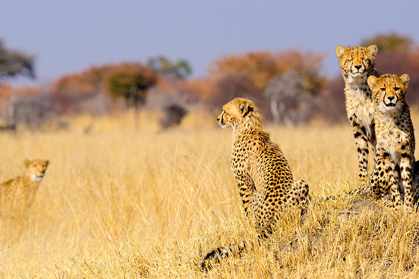 image Zimbabwe Parc National Hwange guepard  it