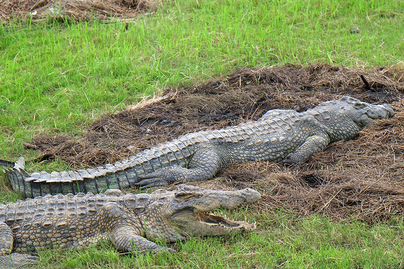 image cote d ivoire Yamoussoukro crocodile it