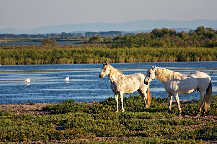 image france camargue chevaux  it
