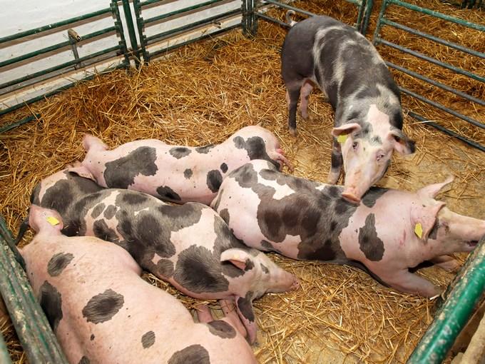 image france paris salon agriculture cochons