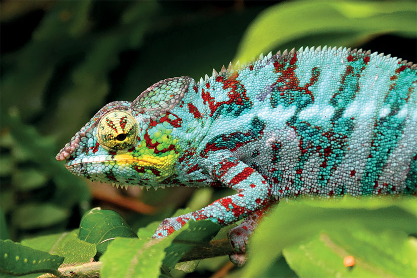 image madagascar cameleon  it
