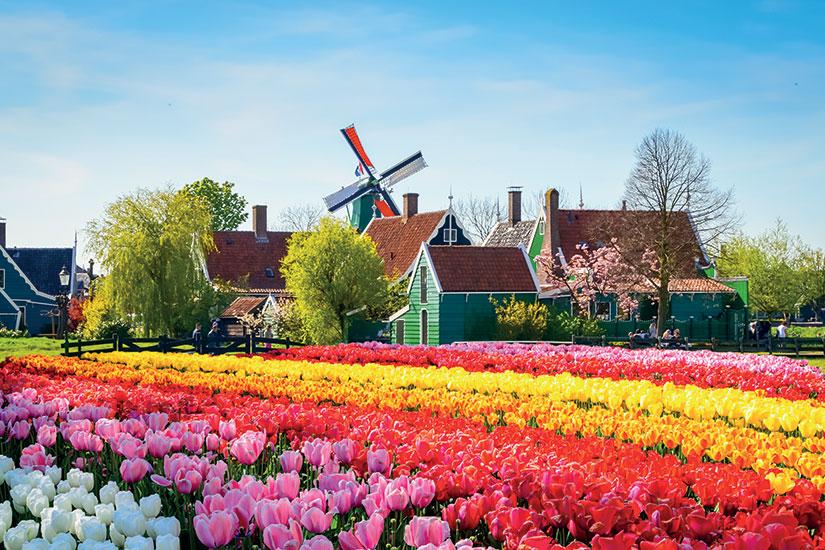 image pays bas zaanse tulipes fleurs  fo