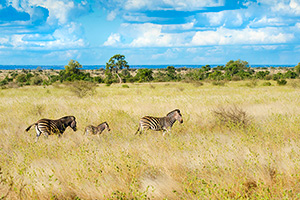 circuit afrique sud kruger zebre  it