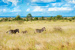 afrique sud kruger zebre  it