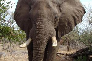 afrique du sud elephant