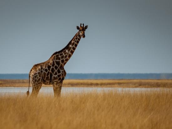 (image)image afrique du sud girafe