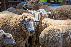 australie moutons  fo
