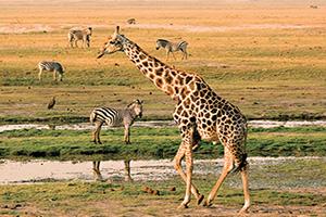 botswana chobe girafes  fo