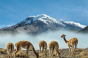 equateur volcan chimborazo vicugnas  fo