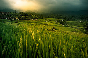 indonesie bali riz terrasse  it