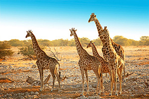 namibie parc national etosha famille girafes  it