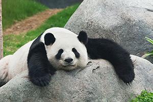 panda  it