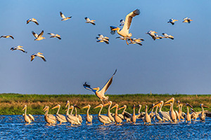 roumanie delta danube pelican  it