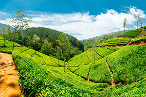 sri lanka nuwara eliya plantations the  it