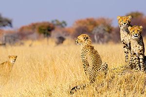 zimbabwe parc national hwange guepard  it