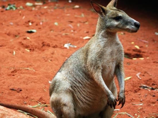 (Image) voyage australie kangourou