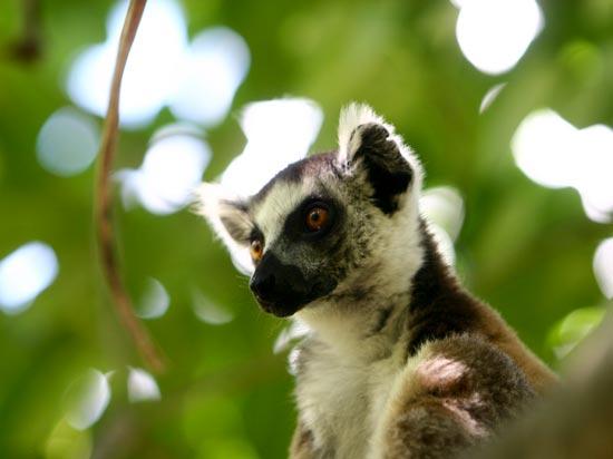 voyage madagascar lemuriens